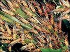 Ожидается увеличение численности саранчи