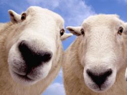 Овцеводы получили 8 медалей Всероссийской выставки