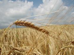 На элеваторе неправильно хранят госзапас зерна