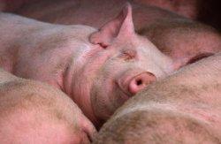 За год поголовье свиней сократилось на 20%