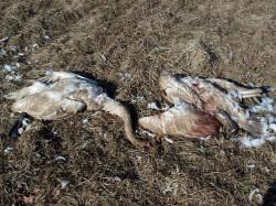 По неполным данным, в области убивается более 36 тыс. диких птиц