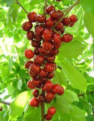 Саратовец займется выращиванием фруктов в соседнем регионе