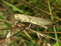 В 2013 г. в области ожидается нашествие саранчи, мотылька и клопа