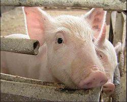 Выявлены нарушения режима работы в семи свинокомплексах