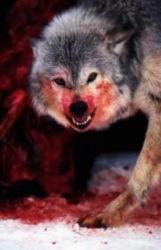 Бешеный волк загрыз 6 собак и искусал еще 5