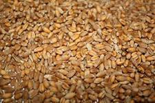 Из области не выпустили 940 т. экспортной пшеницы