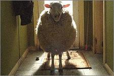 Грабители увели 56 овец