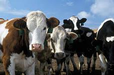 Остановлена машина с 30 коровами и 40 телятами