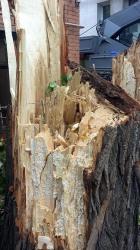 Чиновник о падении дерева: это - пример визуальной обманчивости