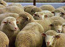 Ветеринары депортировали за пределы области 35 баранов