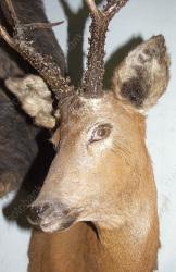 Охотники по ошибке убили косулю