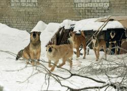 Мэр заявил о возобновлении отлова бродячих собак