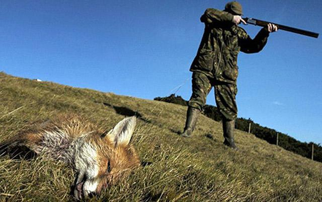 should fox hunting be banned essay The arguments for and against hunting are complicated this page explains wildlife management, ethics, recreation, and human/deer conflicts.