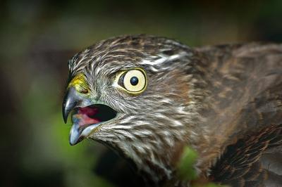 фото скопец птица