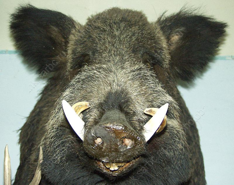 Впробах от 3-х диких кабанов отыскали вирус чумы свиней