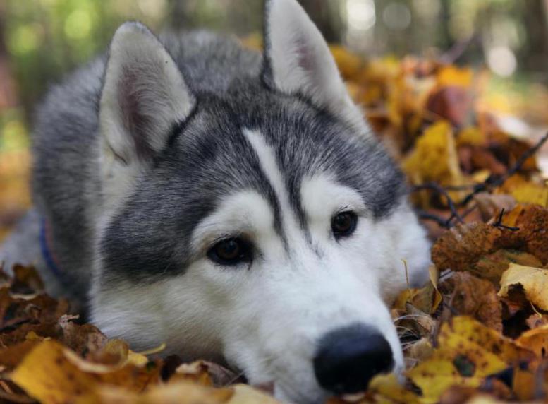 Мечтающий особаке сельчанин похитил щенка хаски