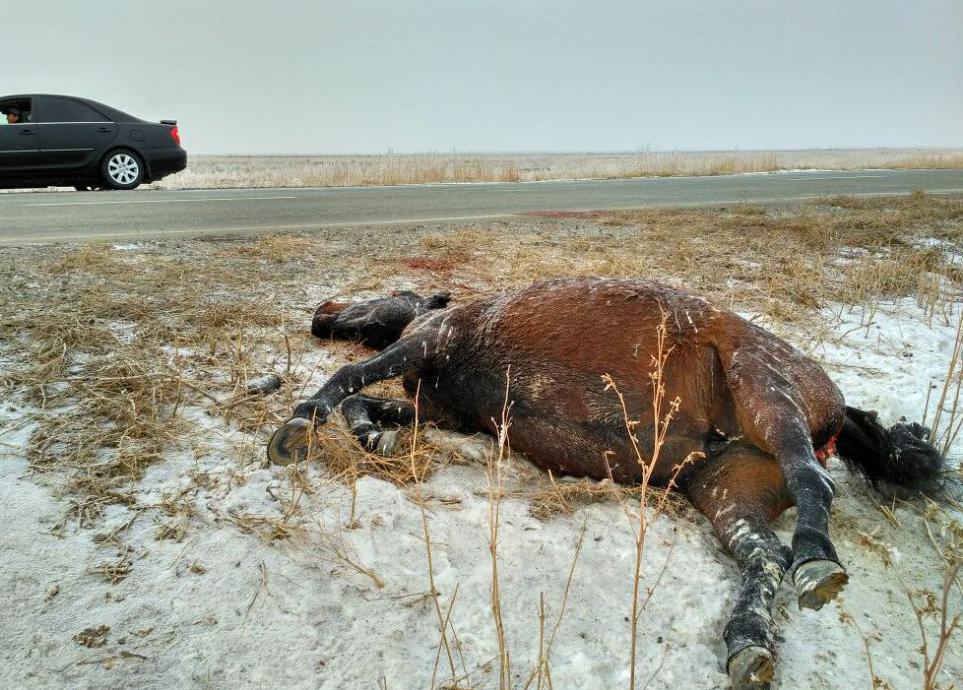 Лошади устроили два ДТП на трассах Атырауской области