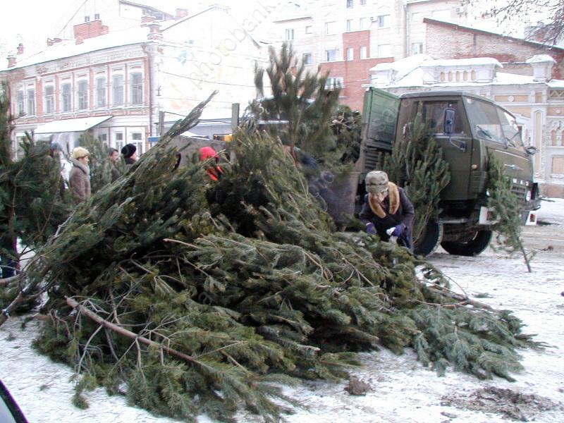 ВСаратовской области заготовят более 50-ти тыс. новогодних елок