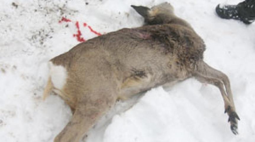 ВКрасноармейском районе браконьеры убили косулю