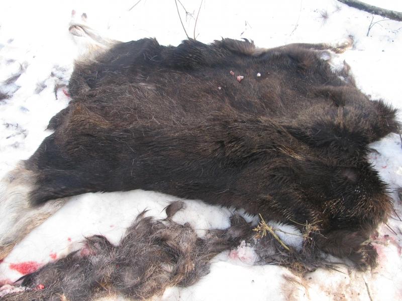 Под Саратовом полицейские обнаружили шкуры 2-х лосей