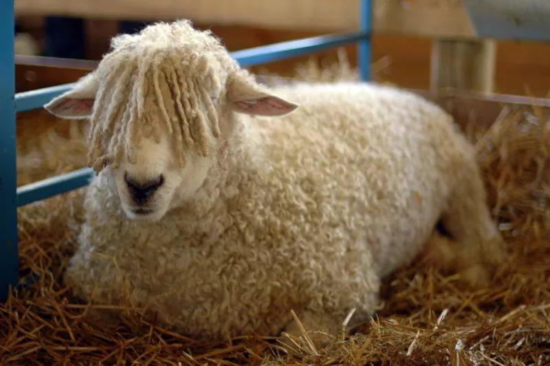 Трое пугачевцев украли 5 овец изсела вБалаковком районе