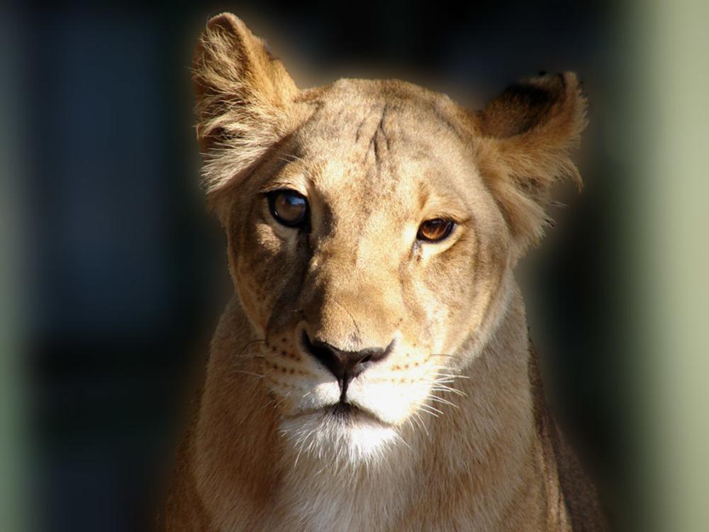 Судебные приставы несмогли отыскать владельца львицы Майи