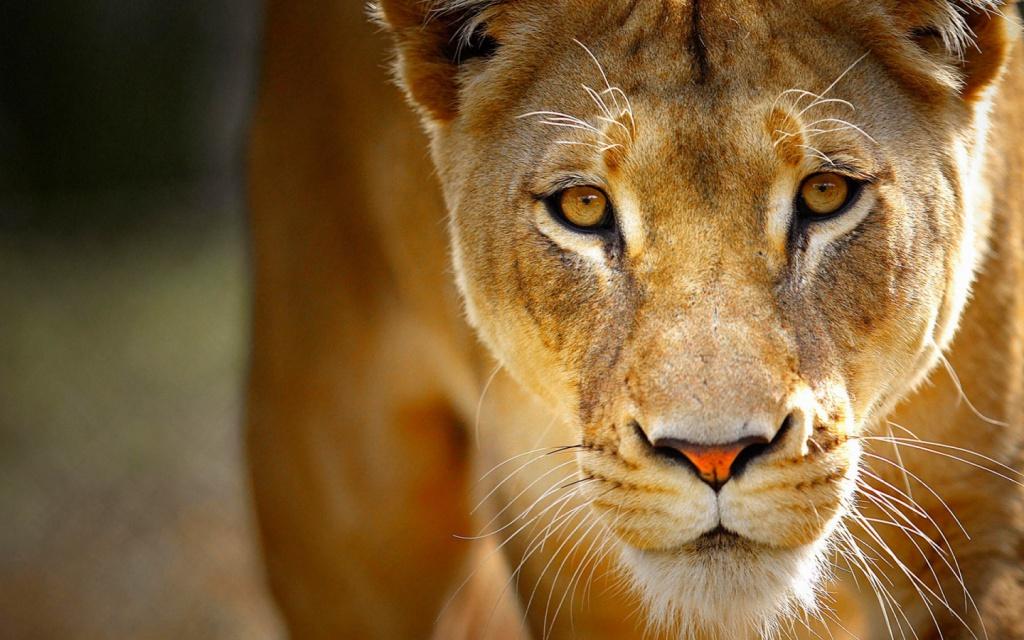 Ветслужба оштрафовала владельца львицы, напавшей нашкольника