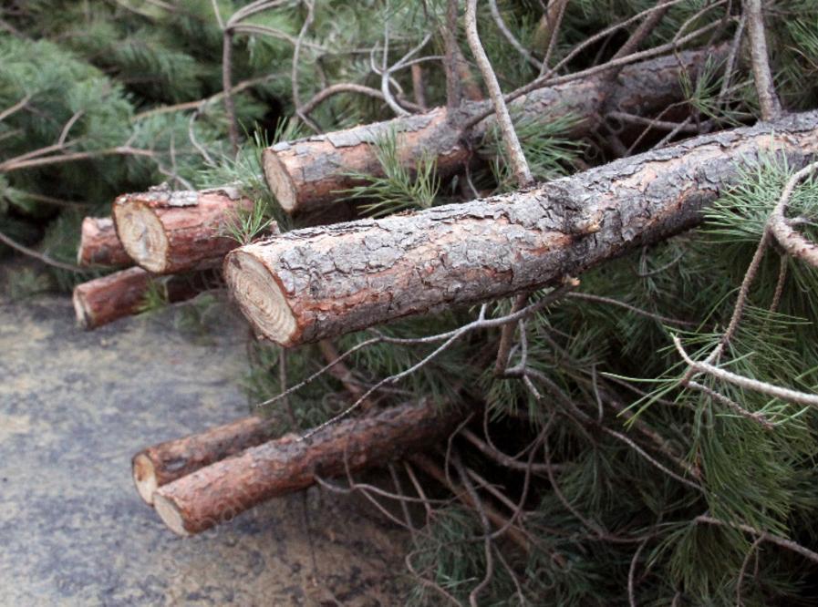 Саратовские лесхозы готовы реализовать 54 тысячи сосен кНовому году