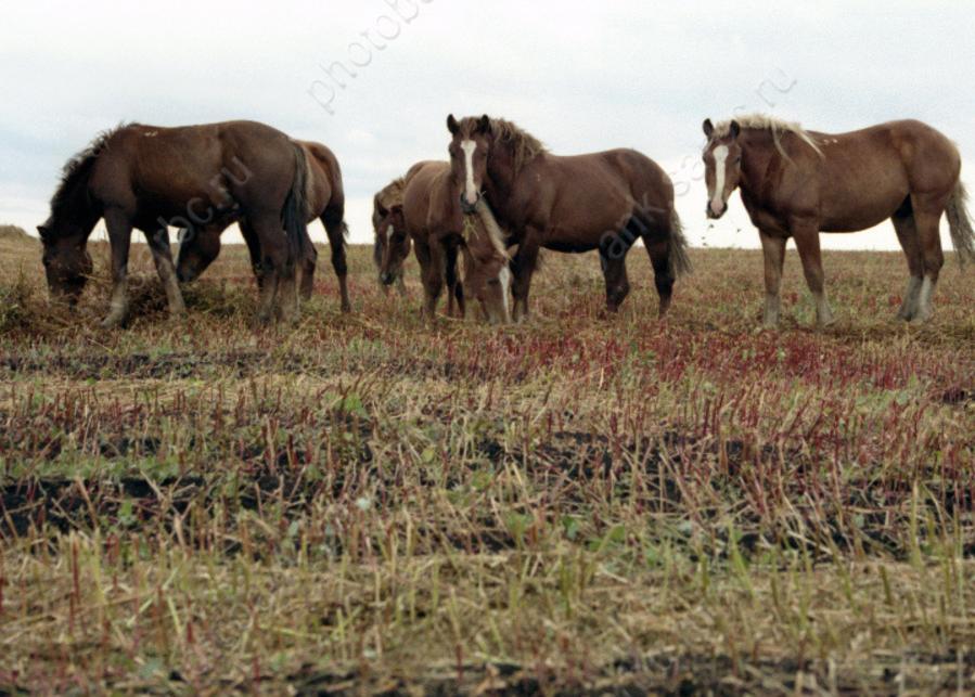 Четырех мужчин подозревают вкраже 4-х лошадей вАлгайском районе