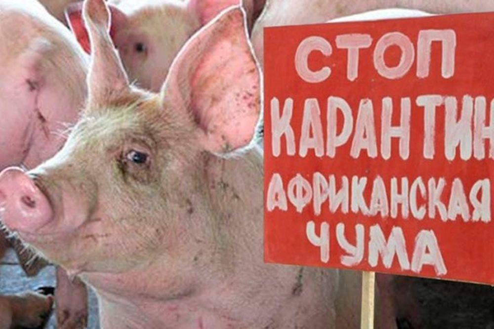 Африканская чума свиней: Россельхознадзор призывает республику Белоруссию кответу