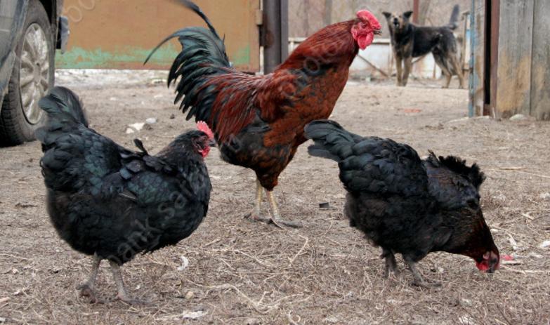 Карантин погриппу птиц вПензенской области объявлен еще начетырех территориях