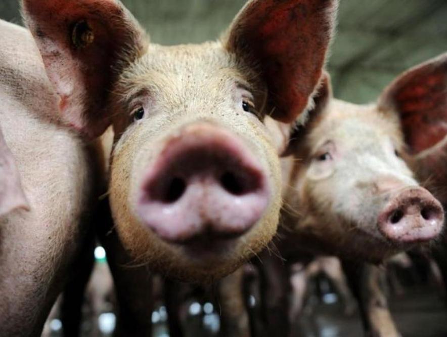 Принимаются меры понедопущению распространения африканской чумы свиней